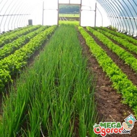 Выращивание зелени в теплицах как бизнес 9