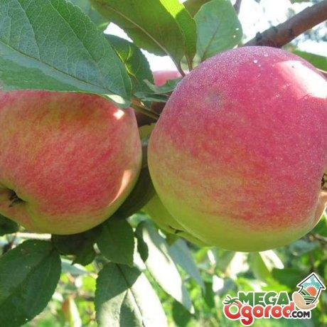 Преимущества обрезки яблони