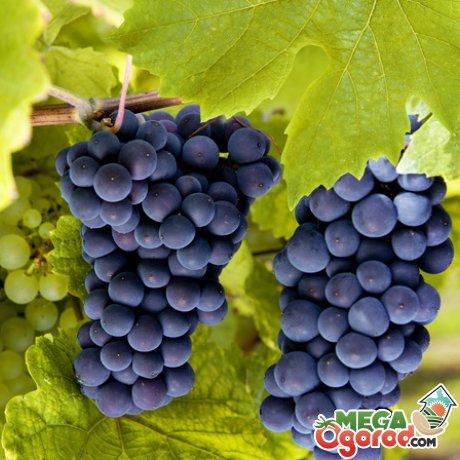 Выбор лучших сортов винограда для выращивания