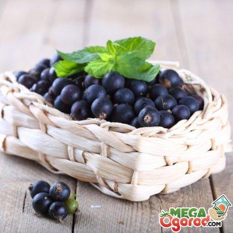 Советы садоводам: как правильно выращивать черную смородину в саду