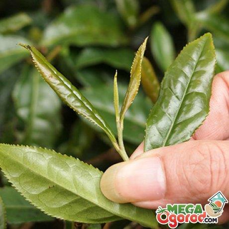 Как вырастить чай у себя в саду?