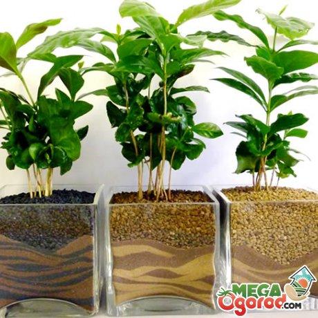 Как вырастить в домашних условиях кофе арабика