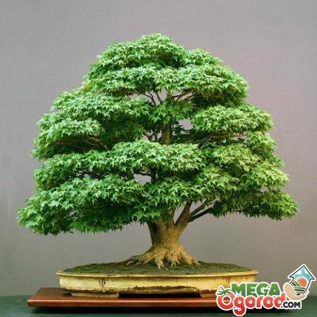 """Техника культивирования миниатюрных деревьев зародилась в Китае свыше тысячи лет назад. Бонсай дословно переводится как """"растение на подносе"""". В Японию данная техника пришла с буддистскими монахами, которые использовали маленькие деревья для украшения ниш домов, поэтому растения были не более 50 см. А в 18 веке японцы превратили эту технику в настоящее искусство, в связи с чем возникло многообразие стилей бонсай. Бонсай можно купить, но удовольствие это не из дешевых. Поэтому все чаще цветоводы самостоятель"""