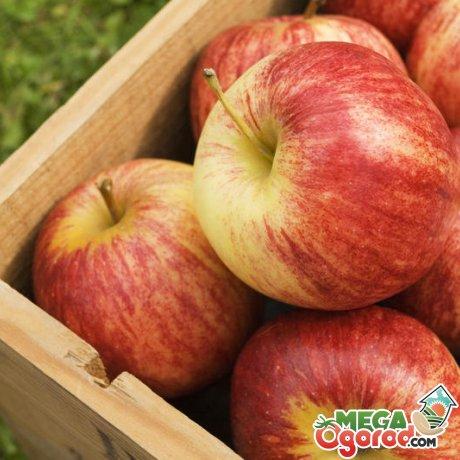 Зимние сладкие сорта яблок