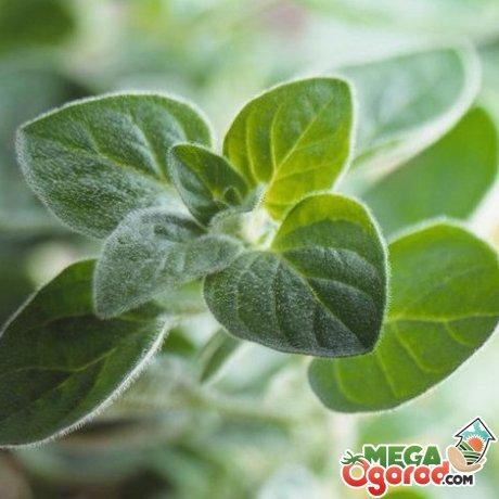 Что представляет из себя растение