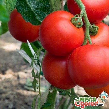 Лучшие сорта помидор для открытого грунта