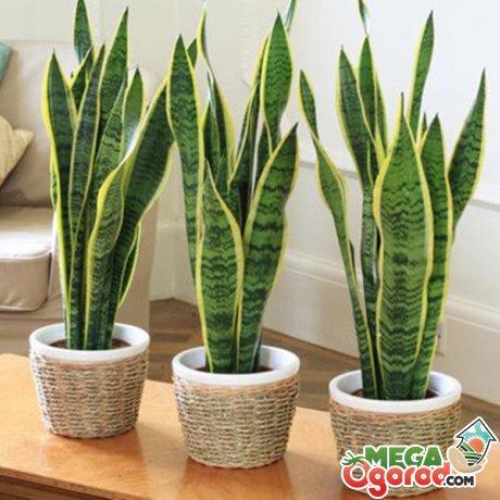 Описание комнатного растения