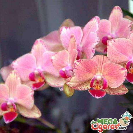 Орхидея – описание цветка