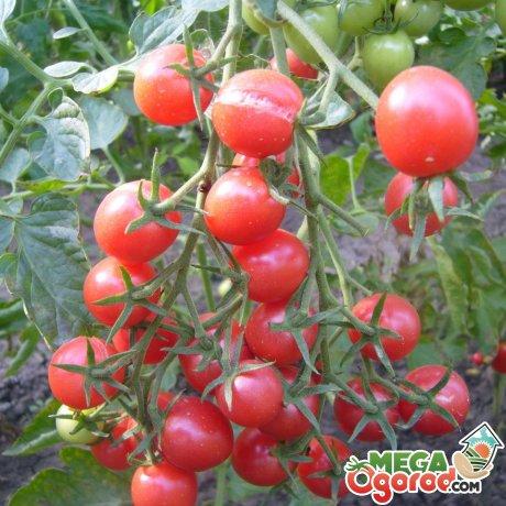 Характеристика томатов сорта Шалун