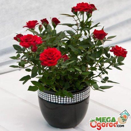 Описание домашней розы