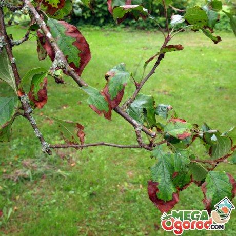 Почему плодовые деревья болеют?