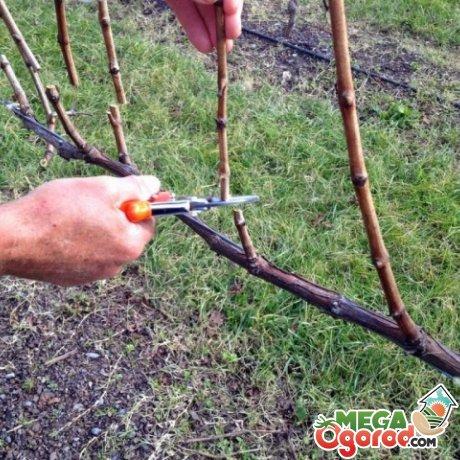 Зачем нужно обрезать виноград?
