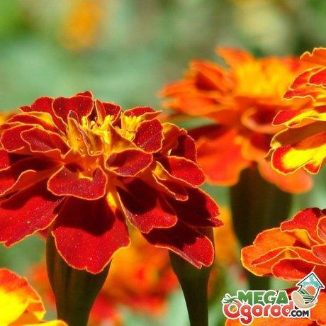 Описание цветка, сорта и виды
