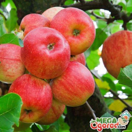 Какие сорта яблонь стоит посадить