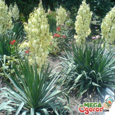 Виды юкки садовой и их описание