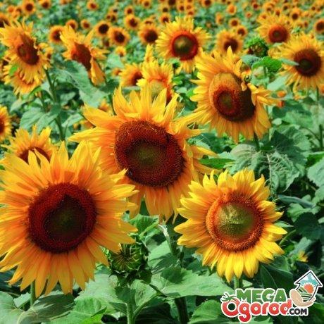 Лучшие сорта подсолнечника для выращивания