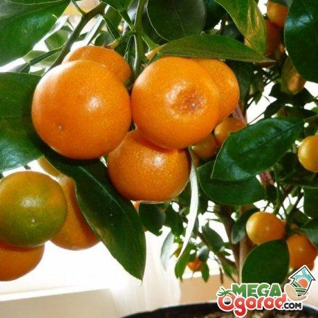 Особенности комнатного мандарина