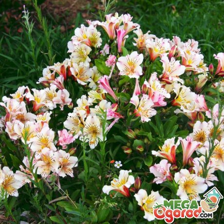 Альстромерия выращивание из семян 957