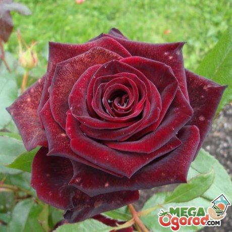 Виды роз для укоренения