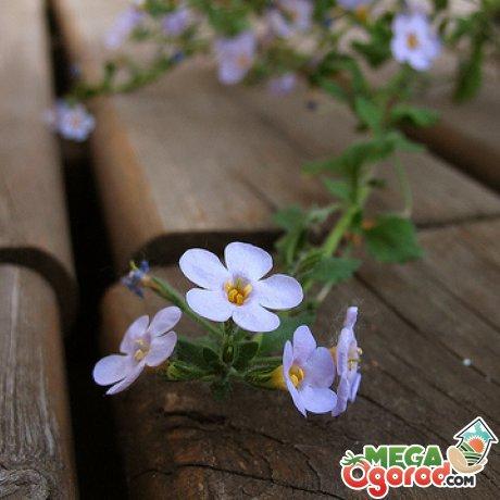Бакопа ампельная: описание и хитрости выращивания