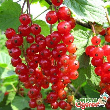 Условия выращивания красной смородины