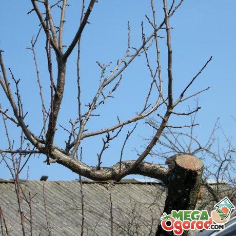 Санитарная обрезка старых яблонь