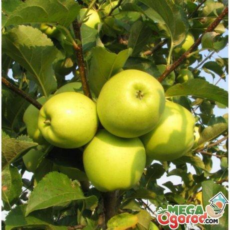 Что представляет из себя сорт яблони Семеренко