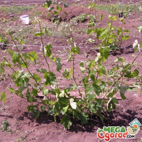 Как производить подкормку винограда в весенний период