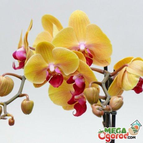 Общее описание орхидеи