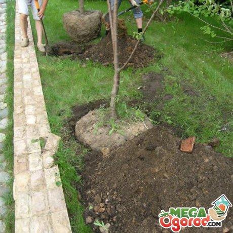 Как правильно посадить вишневый саженец