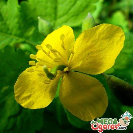 Дикорастущие лечебные растения