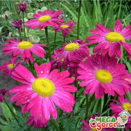 Выращиваем садовую ромашку: все секреты посадки и ухода за растением
