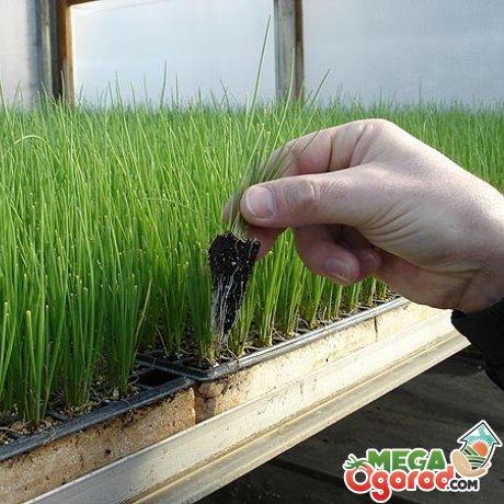 Выращивание зеленого лука из семян