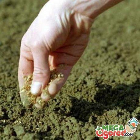 Особенности высадки петрушки