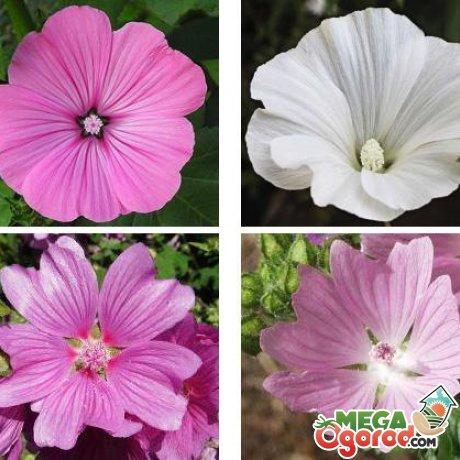 Какие сорта лучше выращивать из семян