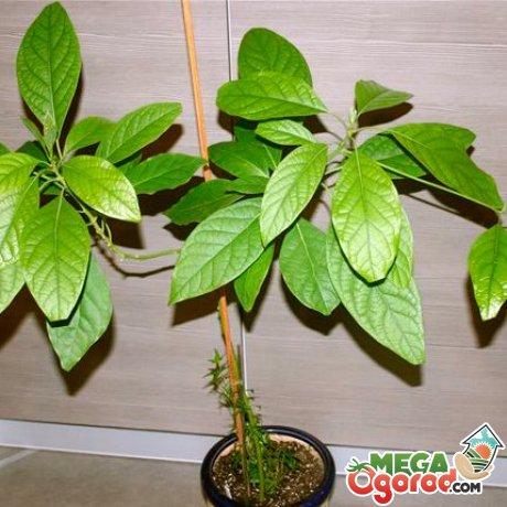 Особенности ухода за авокадо