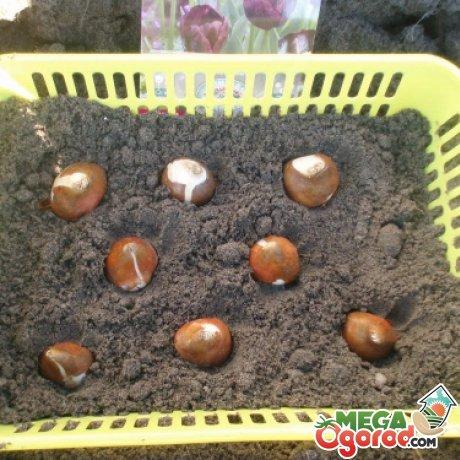 Посадка тюльпанов в домашних условиях