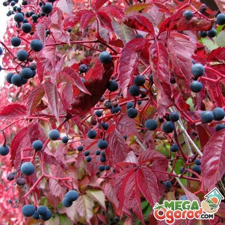 Сорта дикого винограда