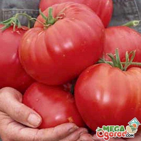 Фитофтороустойчивые сорта томатов