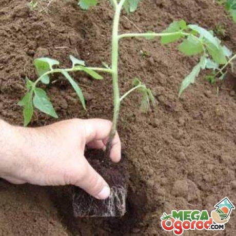 Подготовка и выращивания томатов