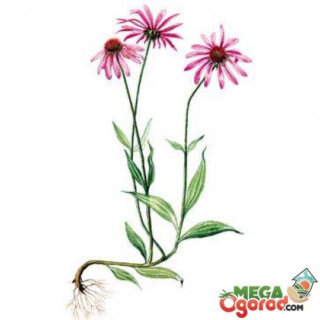 Цветок эхинацея фото