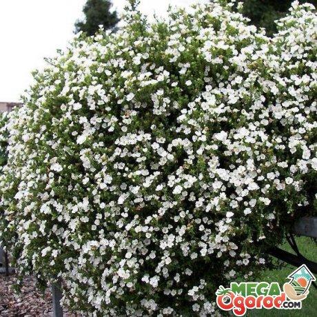 Общая информация о растении