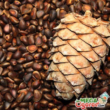 Подготовка и стратификация семян (орехов) кедра