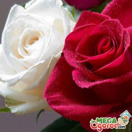Описание популярных сортов роз