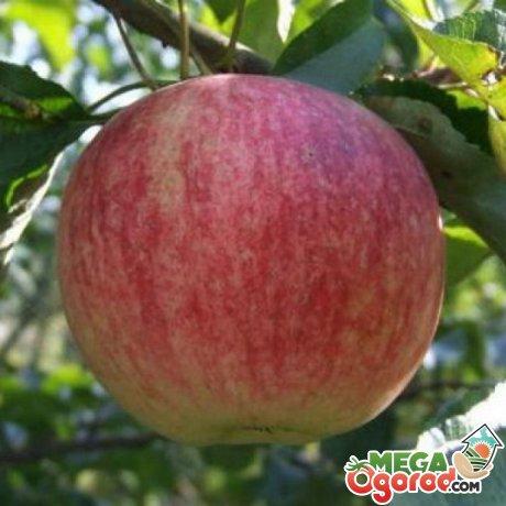 Подарок осени яблоня описание фото отзывы
