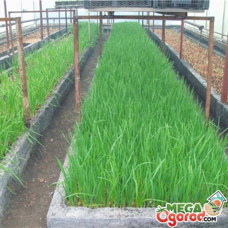 Выращивание лука на зелень в теплице 29