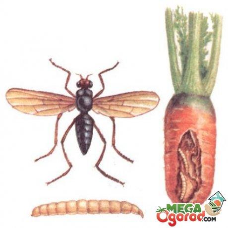 Вредители моркови: виды, борьба с помощью народных и химических средств, профилактика