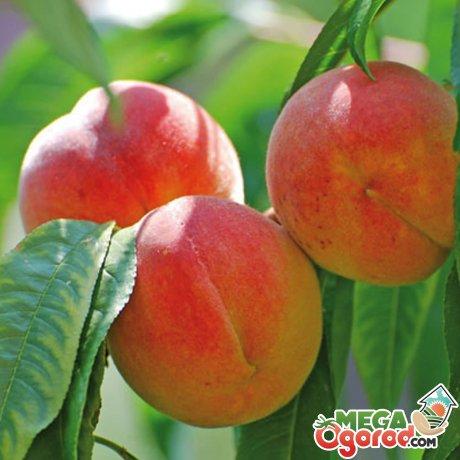 Общая информация о персике