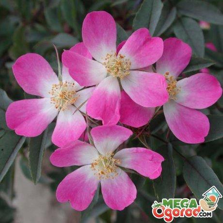 Выращивание розы сизой