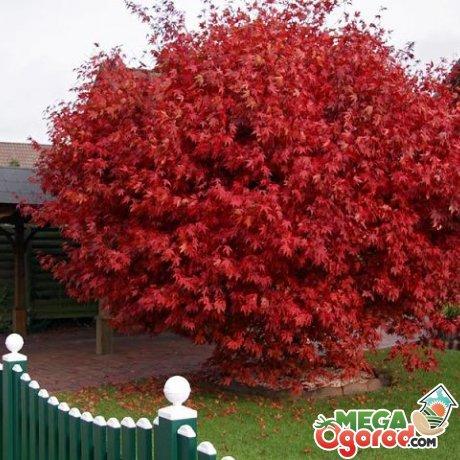 Сорта декоративных деревьев для сада